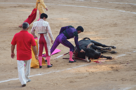 corrida: Toreadors standing next to dead bull in corrida performance in Spain
