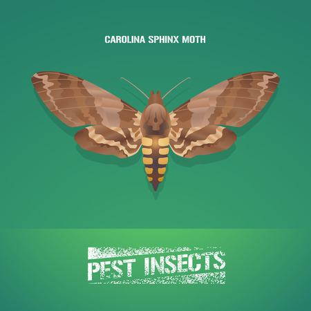 insecticide: Realistic vector illustration of insect Manduca sexta, Carolina sphinx moth. Pest insect of tobacco farmland. Design element for insecticide poster, brochure, article