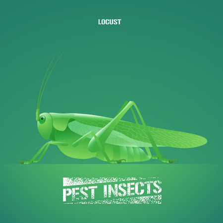 insecticide: Realistic vector illustration of green insect Acrididae, locust, grasshopper. Migratory pest insect of agriculture farmland, meadows. Design element for insecticide poster, brochure, article