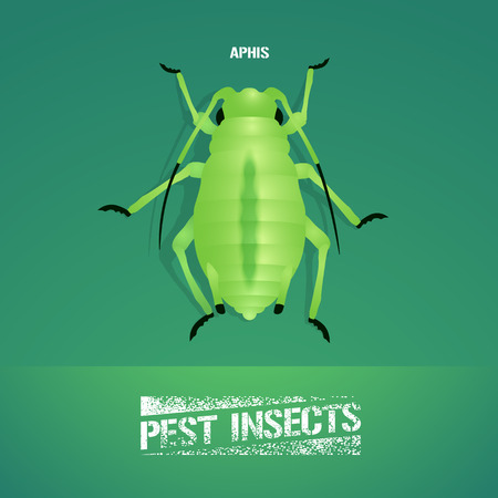 insecticide: Realistic vector illustration of insect Aphidoidea, aphis. Pest insect of agriculture farmland. Design element for insecticide poster, brochure, article Illustration