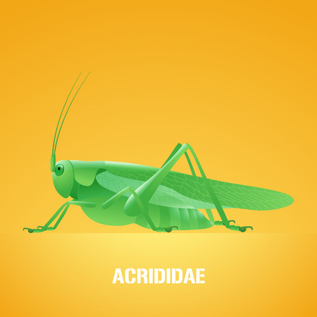 Realistic vector illustration of green insect Acrididae, locust, grasshopper. Migratory pest insect of agriculture farmland, meadows. Design element with Latin sign for insecticide poster, brochure