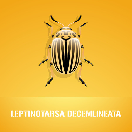 insecticide: Realistic vector illustration of insect Leptinotarsa decemlineata, colorado beetle. Pest insect of potato farmland. Design element with Latin sign for insecticide poster, brochure, article