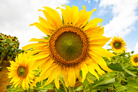 Sunflower on a farmer field photo