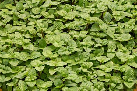 deatil: Growing mint leaves