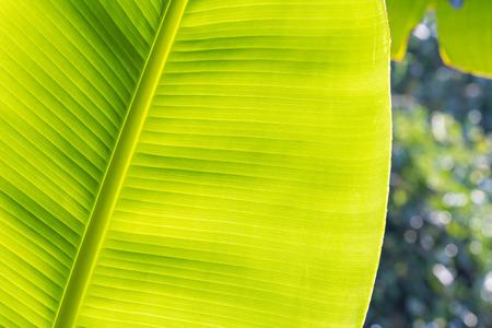 banana leaf: Pl�tano textura de la hoja Foto de archivo