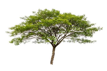 Grote geïsoleerde boom op witte achtergrond