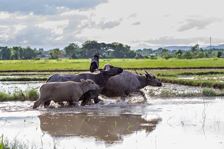 farm duties: Thai water buffaloes walking through a swamp Stock Photo