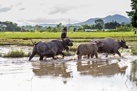 agriculturalist: Thai water buffaloes walking through a swamp Stock Photo