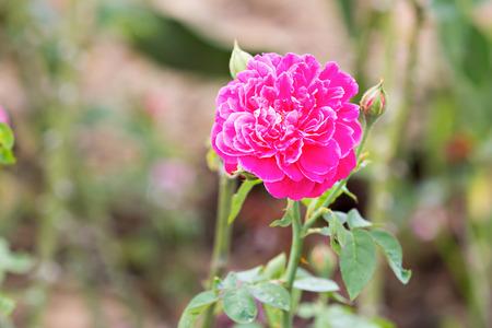 botanic: Magenta rose in botanic garden