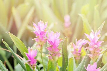 curcuma: Pink Curcuma alismatifolia known as Siam Tulip Stock Photo