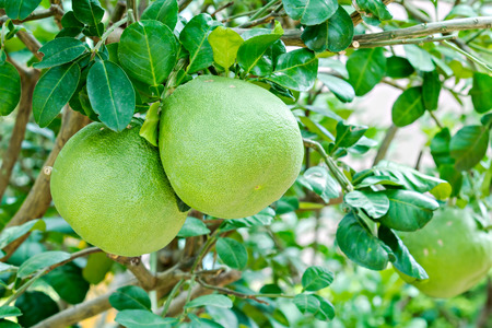 pummelo: Pomelo fruit hanging on the tree