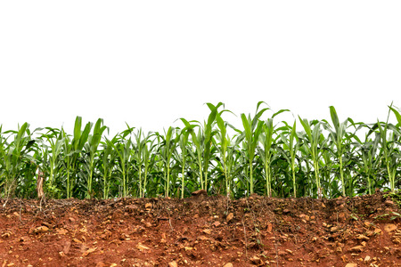 seedling corn field on red lateritic soil cross section