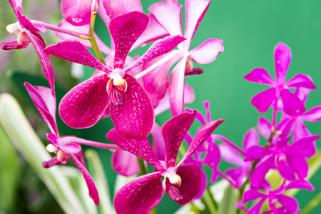magenta: Magenta orchid flowers