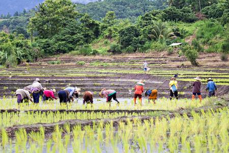 field work: Thai farmers planting rice on rice fields