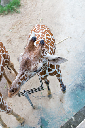 zoo animal: top view of giraffe in zoo