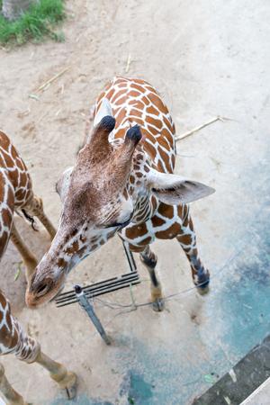zoologico: vista desde arriba de la jirafa en el zool�gico