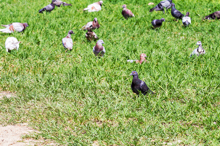 look for: Pigeons look for food on meadow