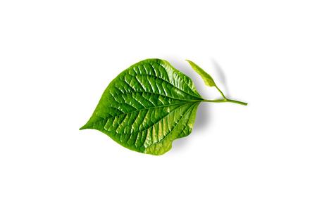 piper: Wildbetal Leafbush (Piper sarmentosum) isolated on white Stock Photo