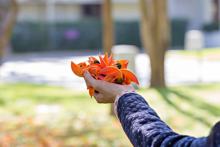 erythrina: Bastard Teak or Flame of the Forests flowers on womans hand