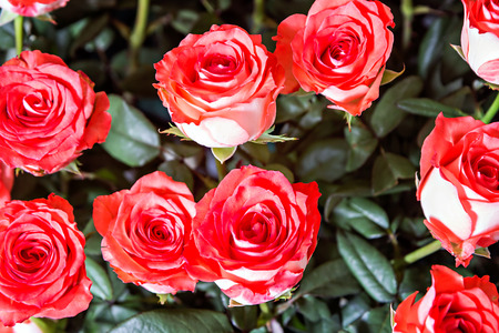 soft   focus: Bright red roses background with soft focus
