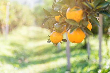 Ripe and fresh oranges hanging on branch, orange orchard Stock fotó