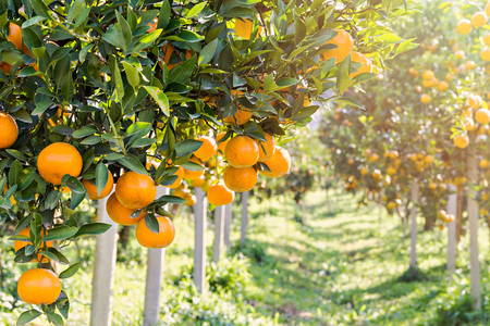 Ripe and fresh oranges hanging on branch, orange orchard Stockfoto
