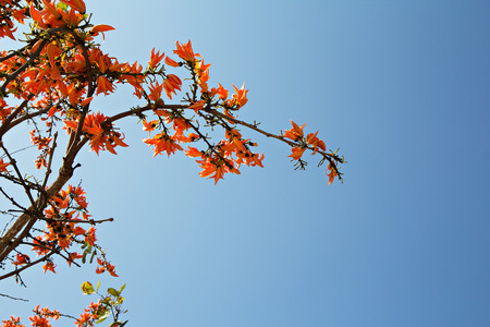 erythrina: Beautiful Bastard Teak or Bengal Kinos flowers with nice blue sky, selective focus Stock Photo