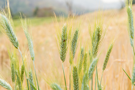 grain fields: Close-up of green wheat ear and ladybug in field Stock Photo