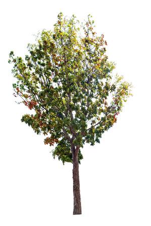 Un gran árbol aislado en el fondo blanco