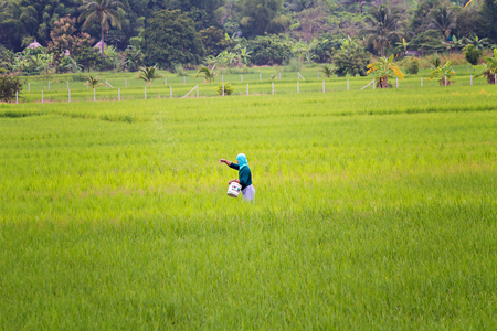 urea: Chiang mai, Thailand - October 05, 2013 : An unidentified thai farmer sowing fertilizer on his rice field Editorial
