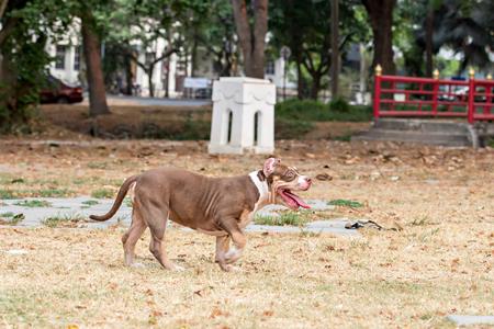 front yard: French bulldog in front yard