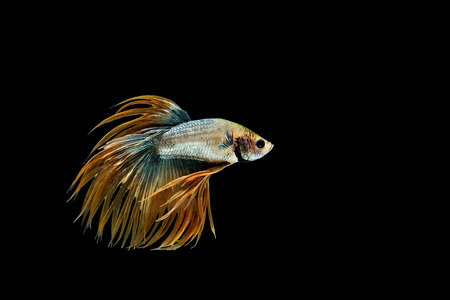 Siamese fighting fish or Betta fish isolated on black background. Stock Photo