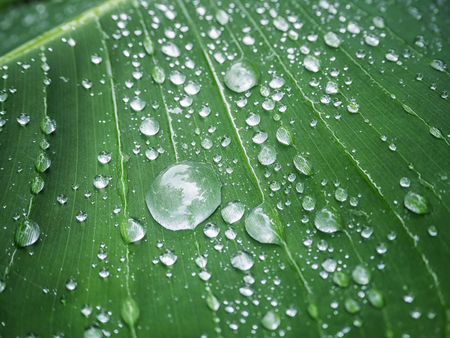 dewdrop: Dewdrop on the green banana leaf Stock Photo