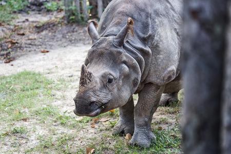 Big endangered indian rhinoceros (one-horned rhinoceros)