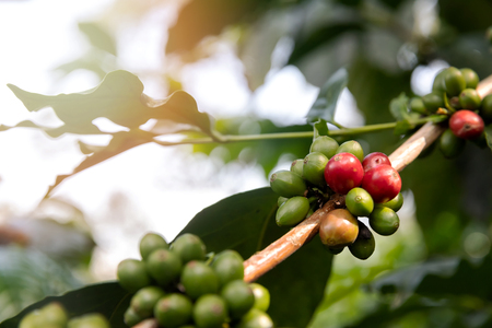 Coffee tree with red coffee berries on cafe plantation. Standard-Bild - 112676876