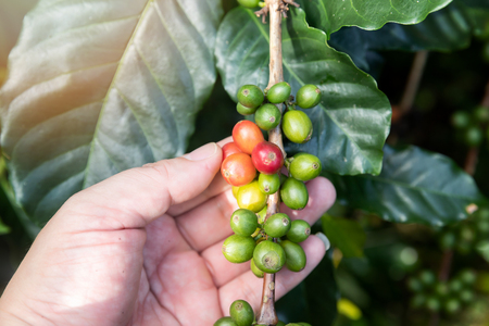 Coffee berries on tree with agriculturist hand. Standard-Bild - 112676897