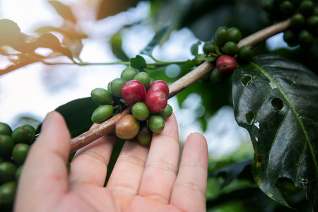Coffee berries on tree with agriculturist hand. Standard-Bild - 112676954