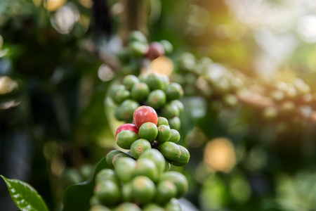 Coffee tree with red coffee berries on cafe plantation. Standard-Bild - 112678310