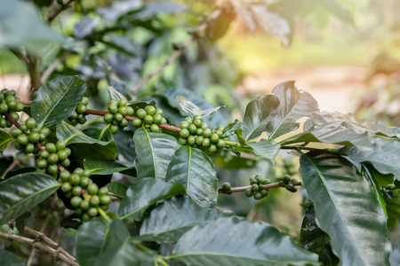 Coffee tree with green coffee berries on cafe plantation. Standard-Bild - 116524695