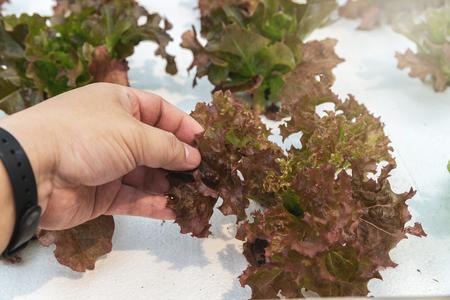 Farmer checking hydroponic red oak up in plant nursery farm. organic salad vegetable. Standard-Bild - 121848151