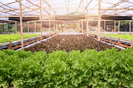 Cultivation hydroponic red and green oak in plant nursery farm, Organic vegetables.