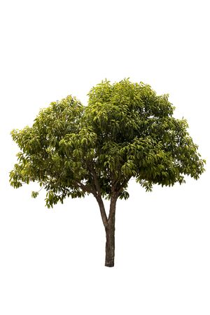 A big tree isolated on white background Stock Photo