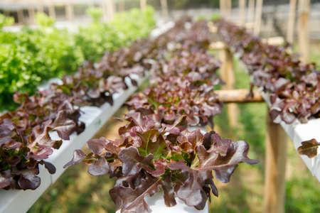 Cultivation hydroponic red oak in plant nursery farm, Organic vegetables.