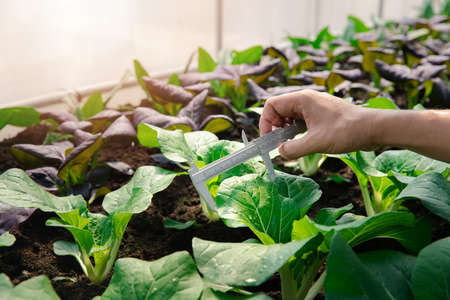 Farmers use vernier calipers to measure vegetables to track their growth in plant nursery farm. Smart agriculture technology concept.