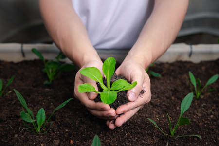 Organic vegetables. Farmer hands with young bok choy with soil in a greenhouse. Standard-Bild