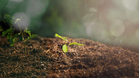 The seedlings are growing from the rich soil with the morning sun shining. Young Plant Growing In Sunlight. ecology concept. Standard-Bild