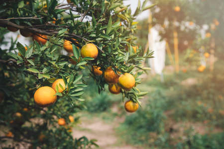 Ripe and fresh tangerine oranges hanging on branch, orange orchard. Bunch of ripe oranges hanging on a tree.