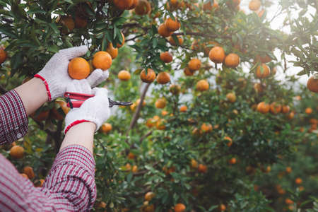 Close up of farmer or gardener hand with glove checking orange on the tree.