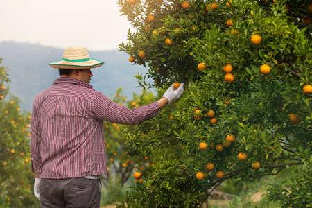 Farmer or gardener with glove checking orange on the tree. Standard-Bild