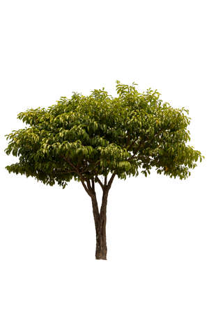 A big tree isolated on white background.  Used for design, advertising and architecture.